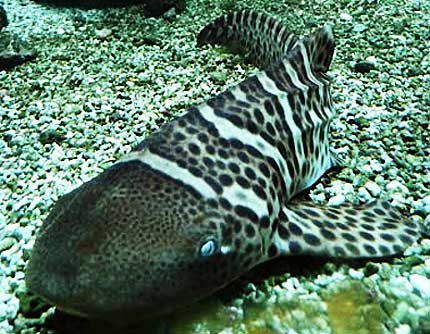 juvenile zebra shark changing colors