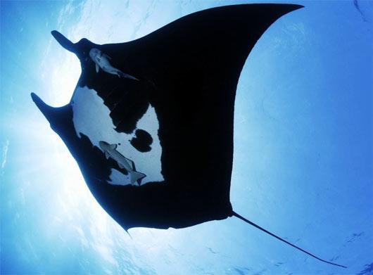 manta ray black white