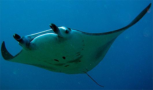 manta ray front
