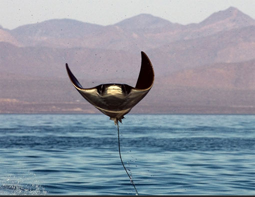 manta ray leaping out