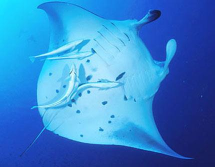 manta ray white underneath