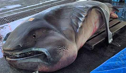 Megamouth Shark Rare Bizarre Looking Filter Feeder