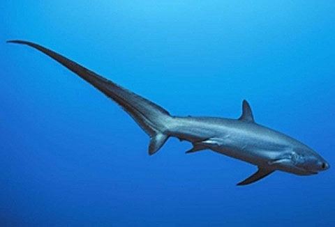 pelagic threshershark