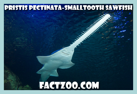 smalltooth sawfish Pristis pectinata