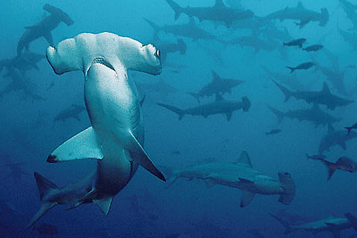 smooth hammerhead shark school