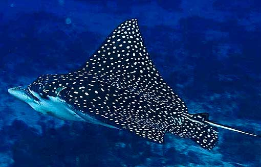 Atlantic ocean animal pictures and facts factzoo this large eagle ray is distributed throughout the tropical zones of the atlantic pacific and indian oceans it migrates seasonally outside these areas sciox Choice Image