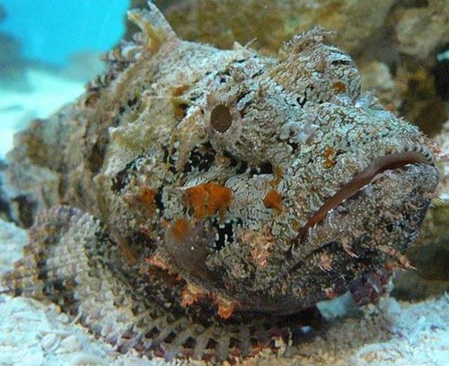 Stonefish Are Usually Lying Around On The Sea Floor Tropical Reefs Fish Blends In Well With Reef Due To Its Warty Growths And Coloring