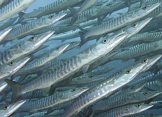 Baby Barracuda Fish Spear Fishing Near Barracudas