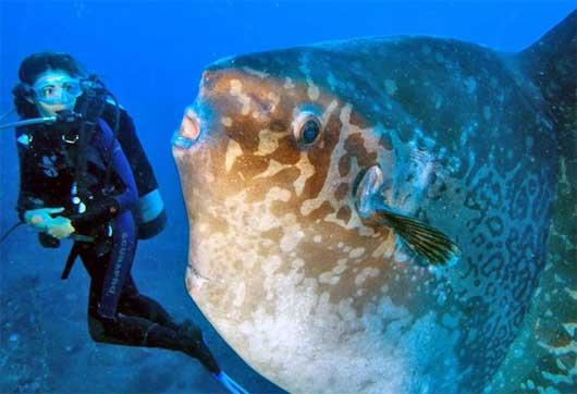 sunfish mola diver bali
