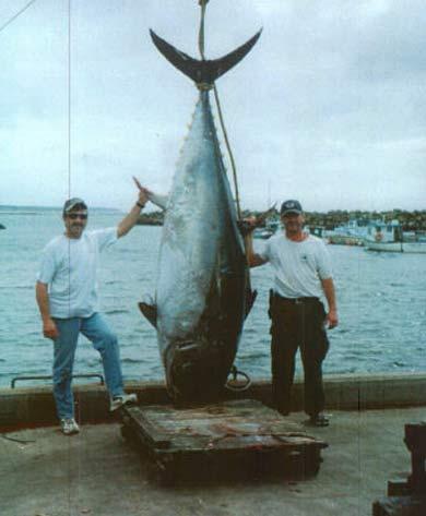 enormous bluefin tuna