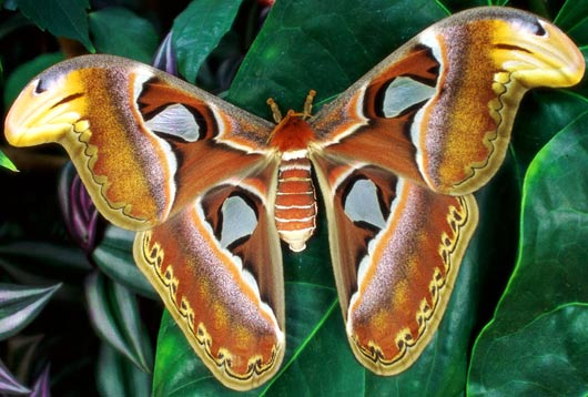 worlds largest moth