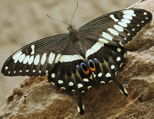 Swallowtail Butterflies - Large and Colorful | Animal