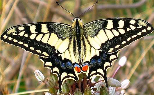 Common Yellow or Oldworld Swallowtail | Animal Pictures and