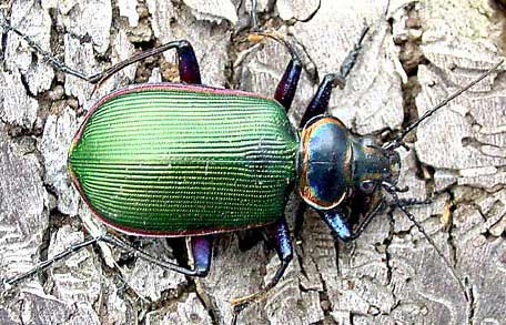 beetles animal pictures and facts factzoo com