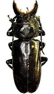 central america beetle molarius