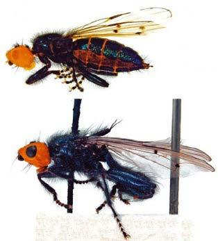 thyreophora cynophila