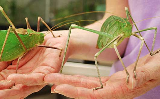 giant long legged katydids