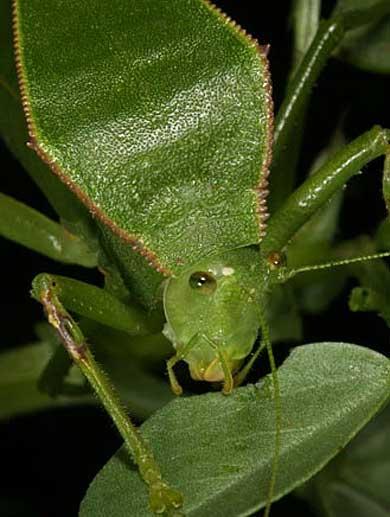 katydid head