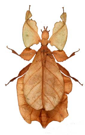 Leaf Insect - The Phantom | Animal Pictures and Facts