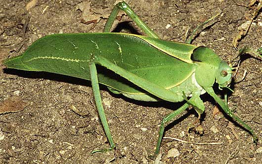 giant katydid long legged green leaf imitator animal pictures and facts. Black Bedroom Furniture Sets. Home Design Ideas