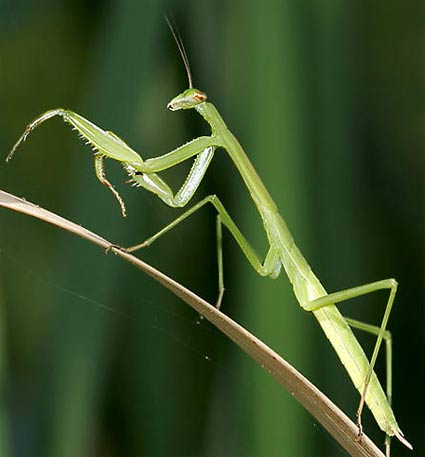 Praying Mantis - Devout, Stealth, Fearsome Hunter | Animal ...