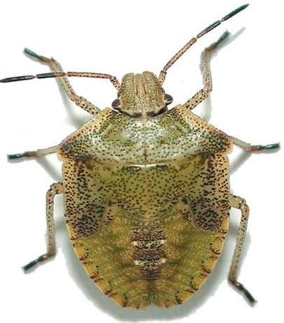 brown-green-speckled-stink-bug