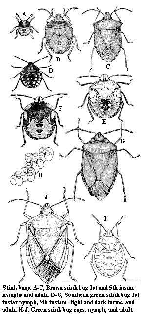 stink-bug-variations