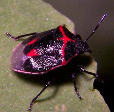 twice stabbed red black stink bug. Stink Bugs   Little Bugs with Stinky Defense   Animal Pictures and