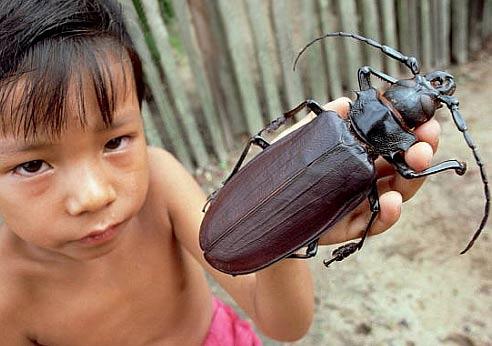 titan beetle larger than boy