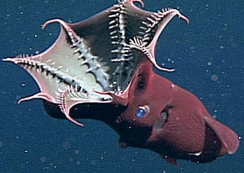 The Vampire Squid from HellVampire Squid From Hell