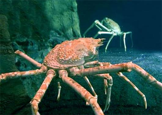 King Crab Alaskan Cold Water Giants Animal Pictures And Facts Factzoo Com