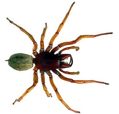 dysdera crocata spider
