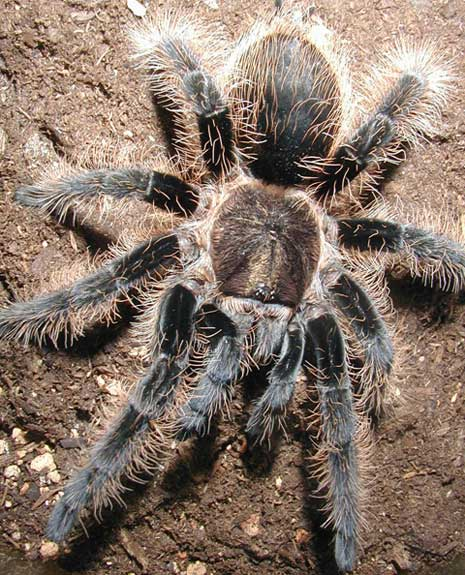 Tarantula - Big, Hairy, Scary Spider | Animal Pictures and Facts ...