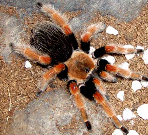 Pictures of big huge hairy spiders just