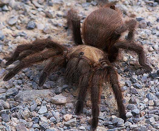 Excited too pictures of big huge hairy spiders opinion, actual
