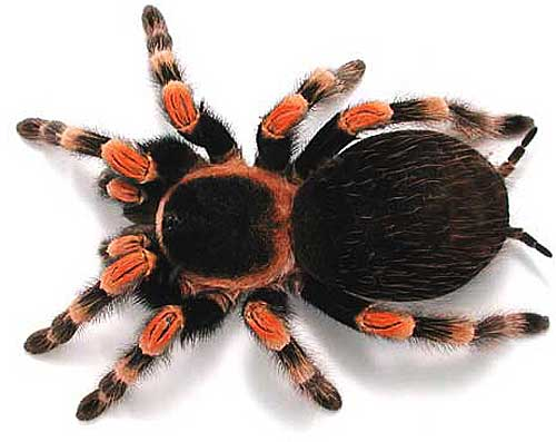 red knee