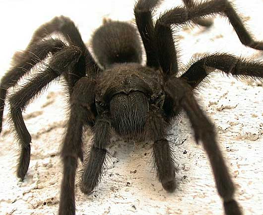 tarantula up close