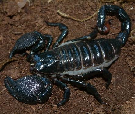 Emperor Scorpion – A Gentle, Glow-in-the-dark Giant | Animal