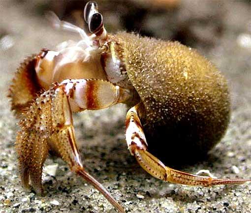 hermit crab algae