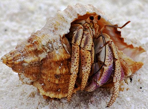 hermit crabby