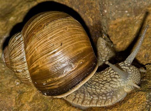 curvy shell snail