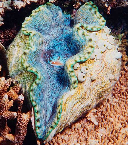 giant clam open