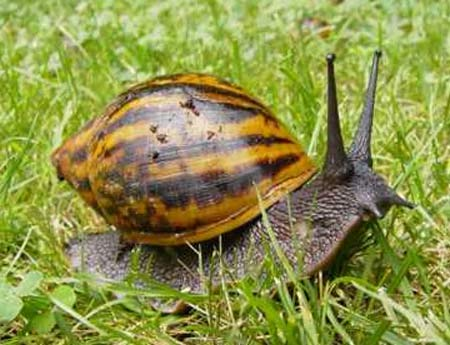 giant land snail