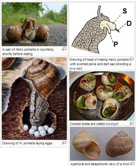 snail escargot mating