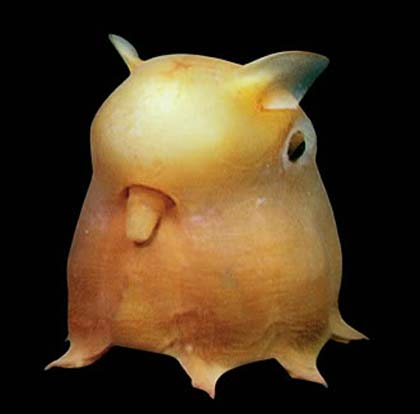 Dumbo Octopus - Cartoon Character of the Deep | Animal Pictures and ... Real Ocean Trenches
