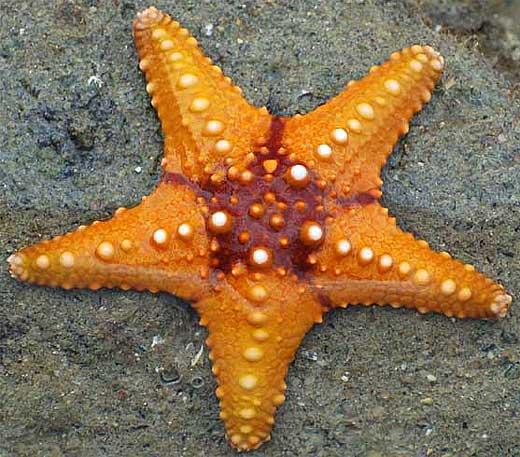orange red sea star