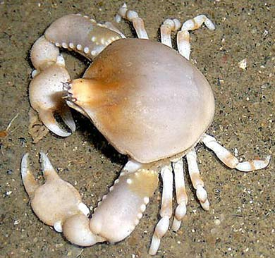 pebble crab