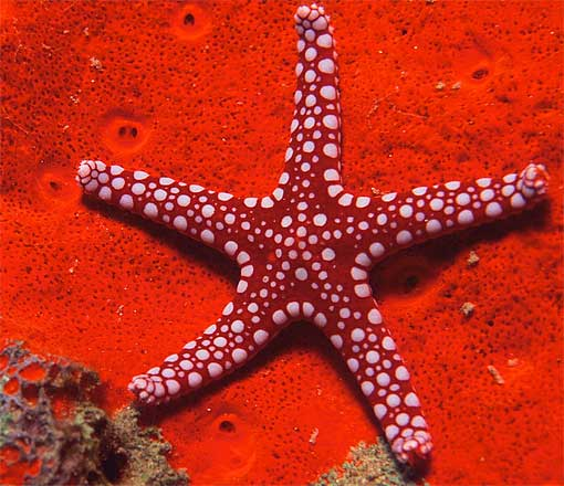 red white spots starfish