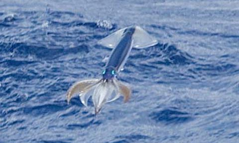japanese common squid flying