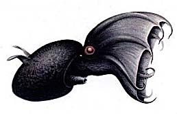 vampire squid illustration